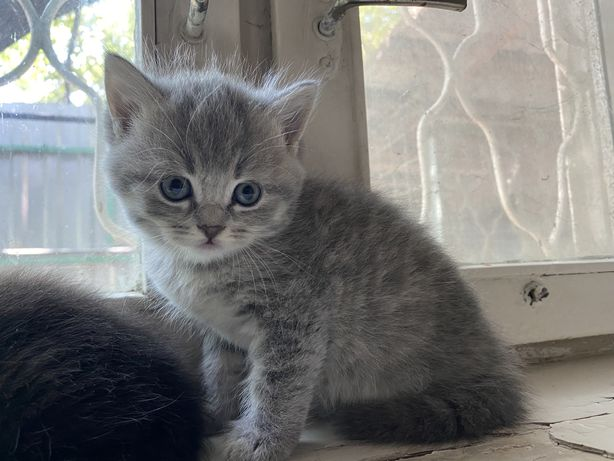 Котята породистые голубоглазые