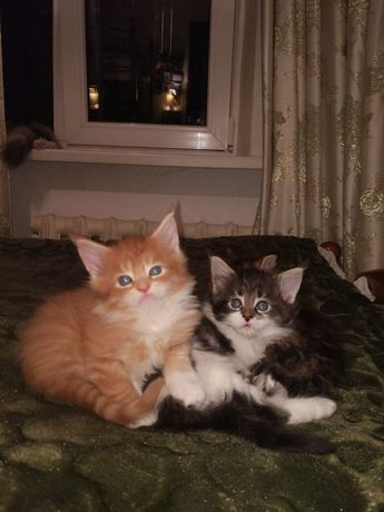 Продаю котят мейн-кун!!!