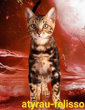 Продаются бенгальские котята с редким окрасом :есть мальчики и девочки