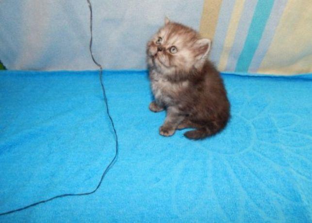 Скоттиш страйт шотладские котята