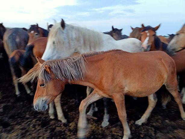Продам 4 лошадей годовалых