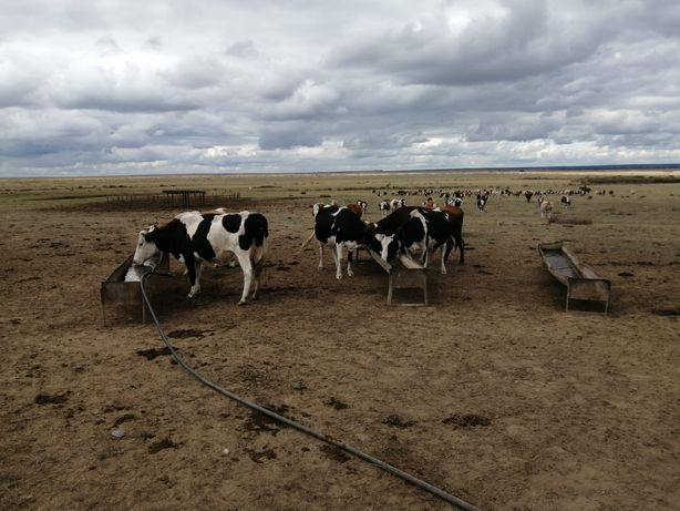 Продам мололчные коровы