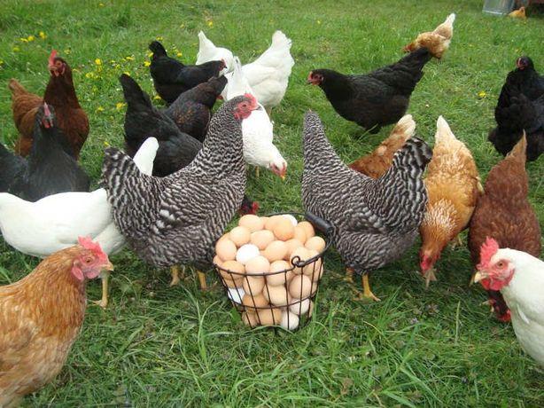 Furaje și concentrate proteino-vitamino-minerale pentru gaini ouătoare