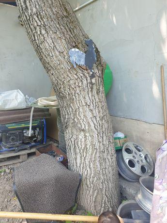 Дерево орех на сруб