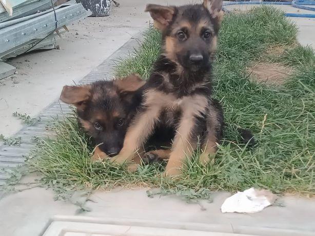 Продам щенка немецкой овчарки