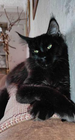 Мейн-кун , кошки