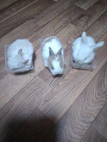 Кролики декоративные карлики