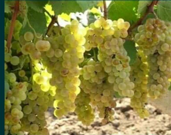Struguri de vin Resling,feteasca,tamioasa Romaneasca