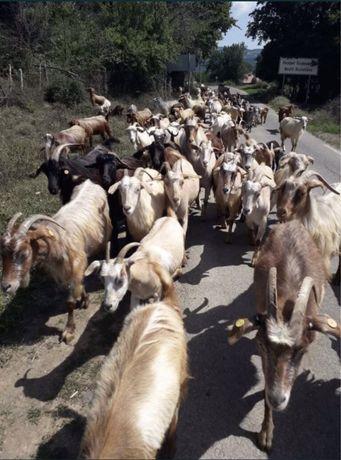 Козии и ярета (стадо)
