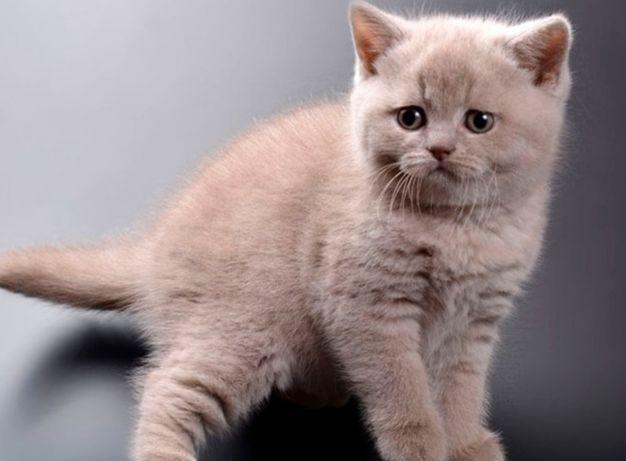 Шотландские и британские котята с документами