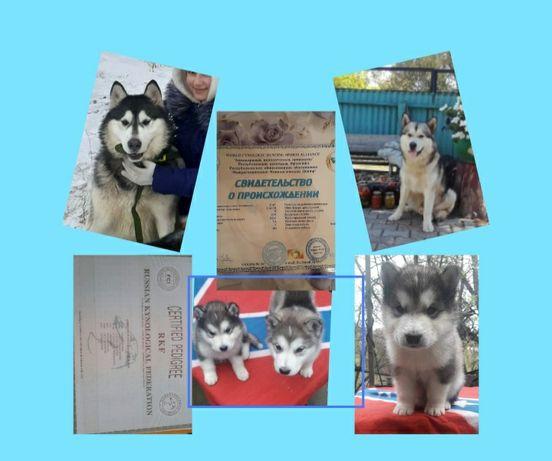 Продаются щенки Аляскинского маламута мальчик