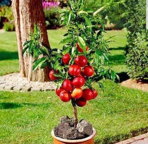 Pomi frucitferi pitici gama SUPERB