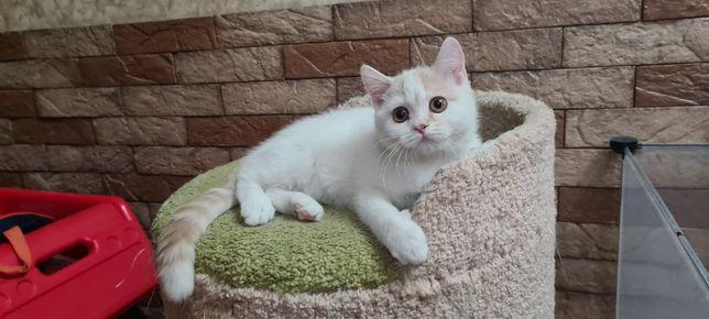 Шотландский котик с документами