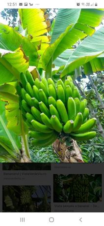 vând bananieri