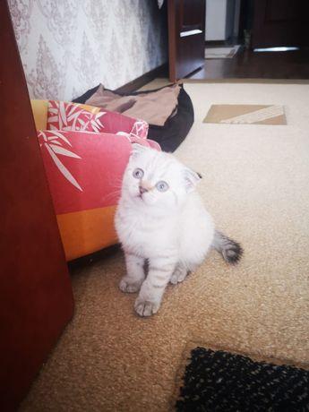Котёнок шотлалдский