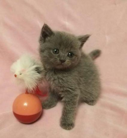 Британские котята! Приучены к лотку. Добрые и ласковые!