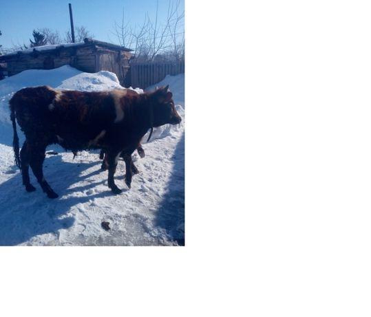 Продам откормленного бычка, бык, крс.