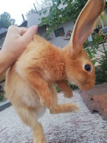 Бургунские кролики