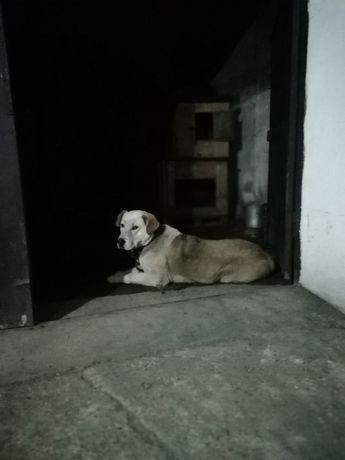 Продам Собаку породы САО