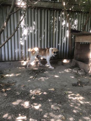 Продам Собаку верного друга , Алабай Год 7 месяцов