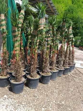 Palmier Magnolie grandiflora Mesteacăn