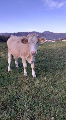 Vand 5 juninci si 2 vaci gestante