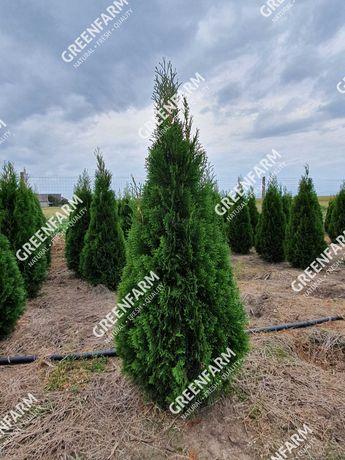 Tuia Smaragd si plante ornamentale crescute în România - GreenFarm.ro