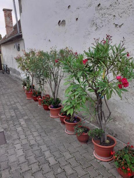 Vând leandrii diferite culori (galbeni, roz, roșii)