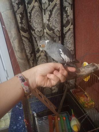Продам попугая коррела