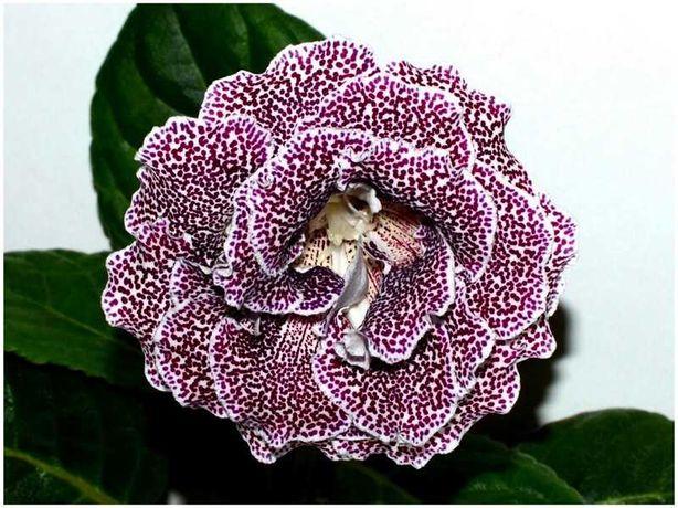 Продам комнатные цветы глоксинии