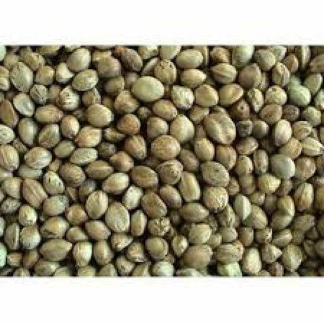 Seminte de canepa selectata