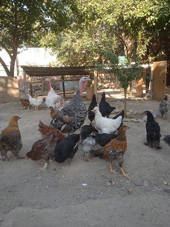 Цыплята. Разных видов. Домашные