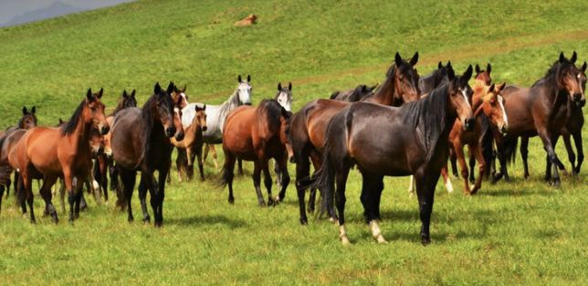 Продаю лошадей табун