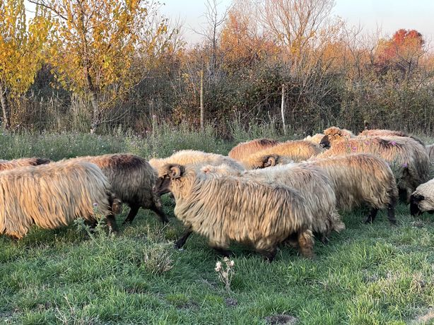 Vand  33 de oi de tinut info doar la tel
