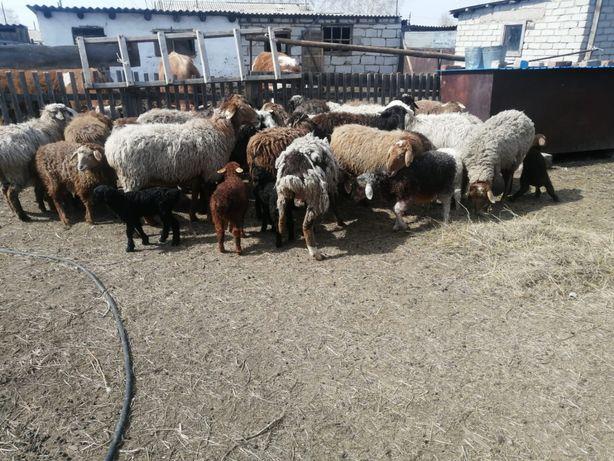Продам баранов овцематок