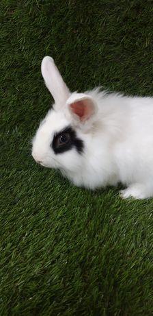 Короткоухий кролик