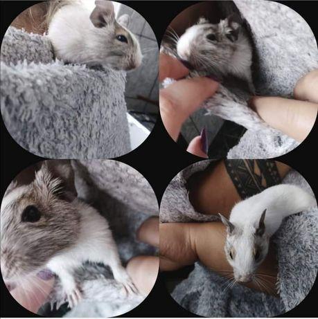 Vând veverițe degu