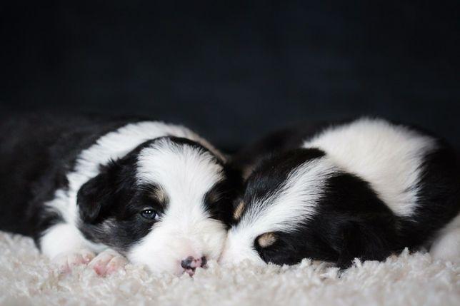 Бордер Колли щенки