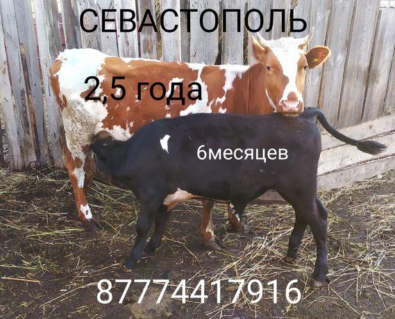 Корова с бычком(6 месяцев)