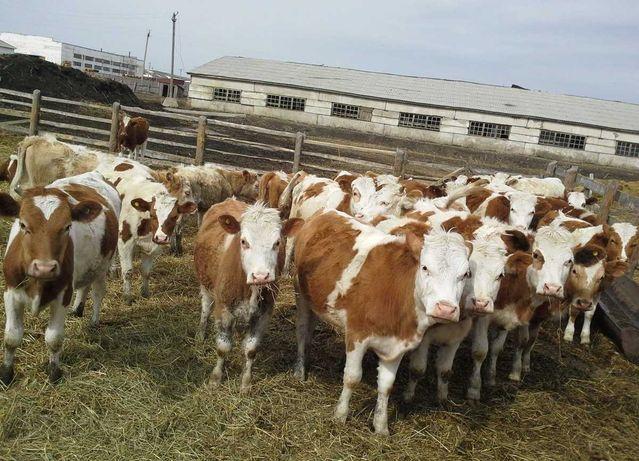 Тёлки бычки коровы Крс симентал ангус герофорд голштейн бузаулар