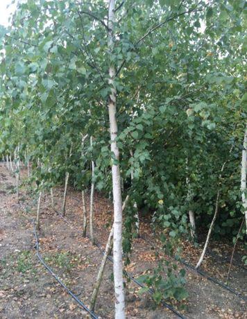 Vind copacii ornamentali. Mesteacăn /tei /stejar /platan etc.