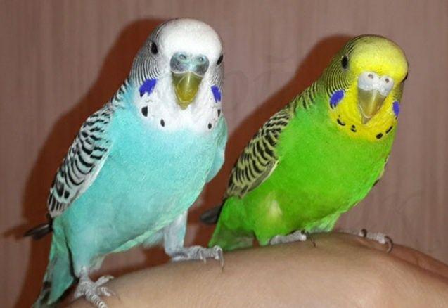 Волнистики попугаи