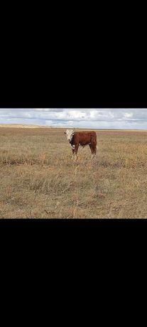 Продаю бычков белоголывые
