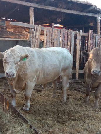 Продам быков Москолевской породы