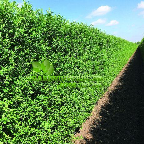Bariera antipraf-lemn cainesc,bariera vizuala-ligustrum-hibiscus-ulm