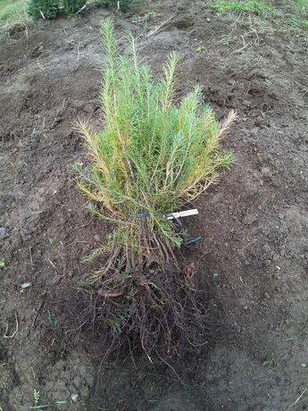 Puieti larice apti de plantat-Larix decidua