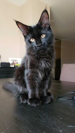 Котята мейн-кун, 3,5 месяца
