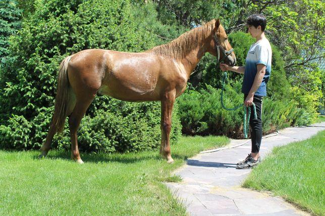 Продам лошадь. Жеребчик 1.5 года.