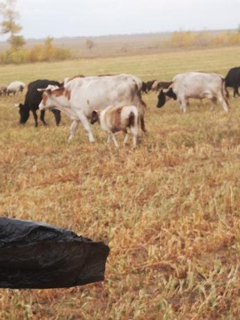 Продам коров дойных