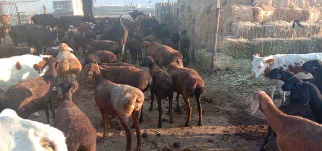 Гиссар еркек козы